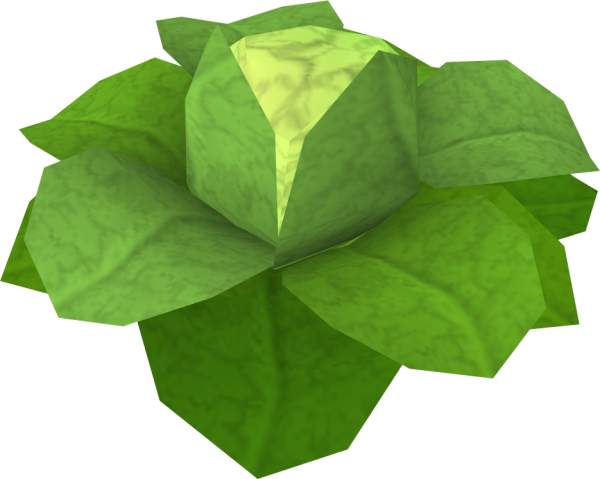 Cabbage_detail